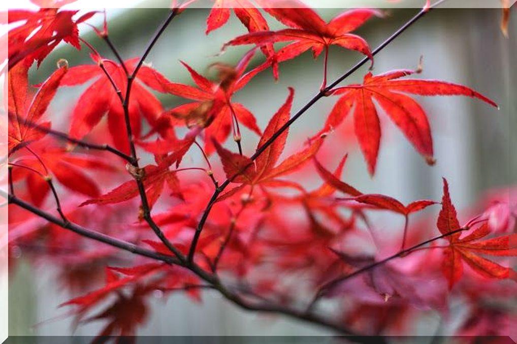 осенние листья красные