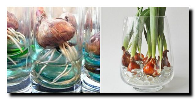 выгонка луковичных в стеклянной посуде