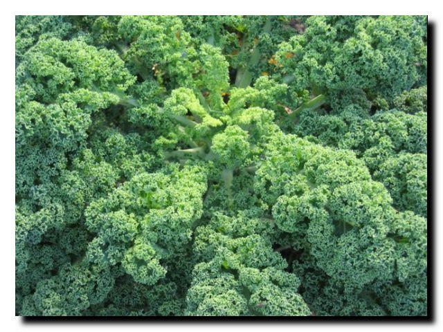 польза белокочанной капусты для организма