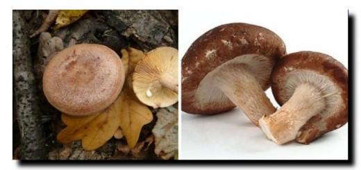 гриб груздь и шиитаке