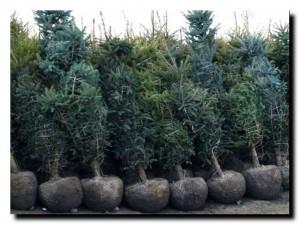 правила посадки хвойных растений