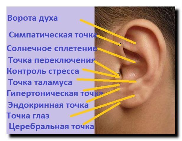активные ушные точки