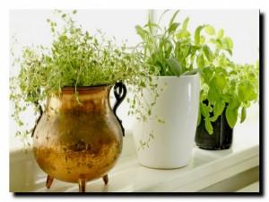 выращивание трав на подоконнике