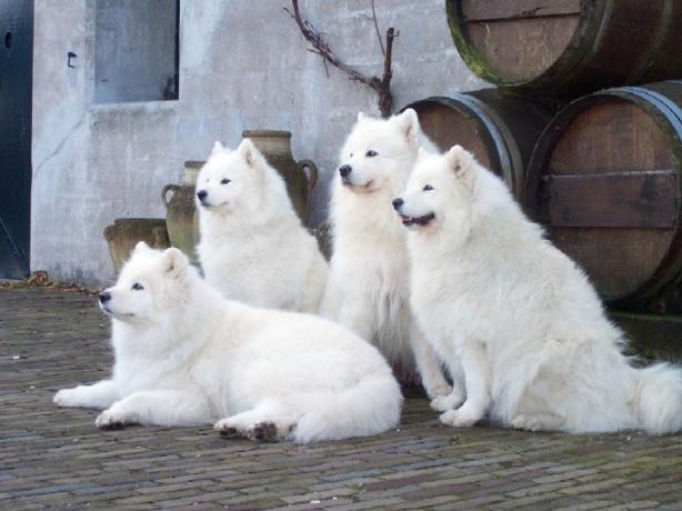Ездовые собаки: свободная жизнь или квартирный плен