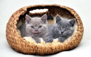 коты в корзинке фото