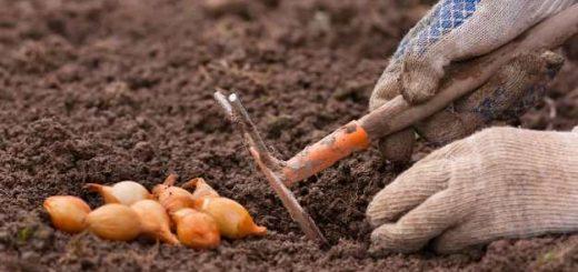 Как посадить осевок лука