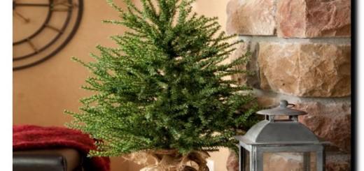 купить живую новогоднюю елку